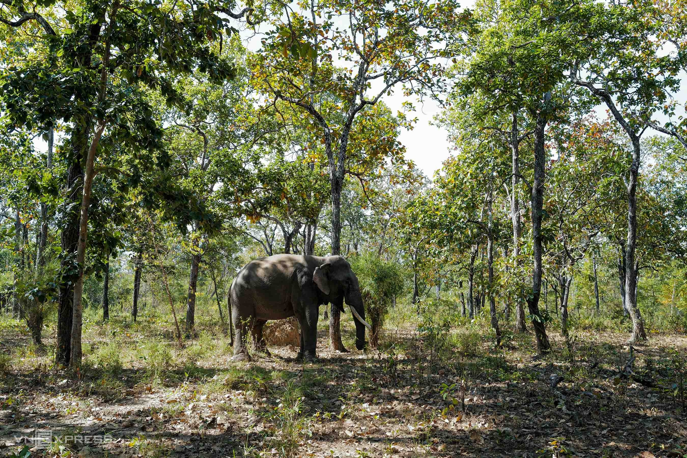 Tusked elephants find repose in Dak Lak conservation center