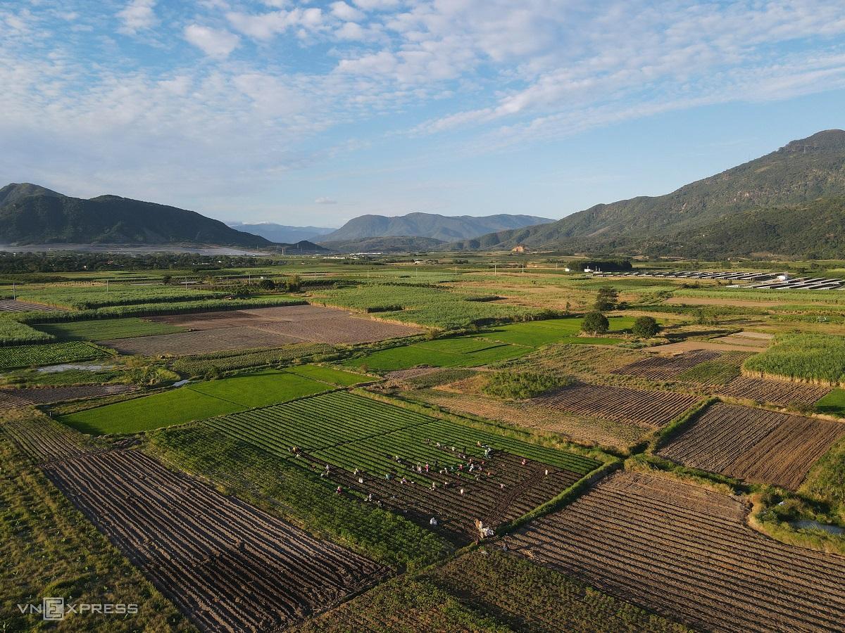 Festive spirit in Khanh Hoa's spring onion farm