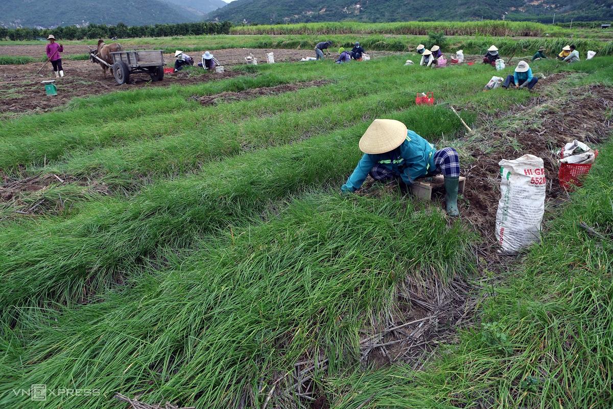 Festive spirit in Khanh Hoa's spring onion farm - 2