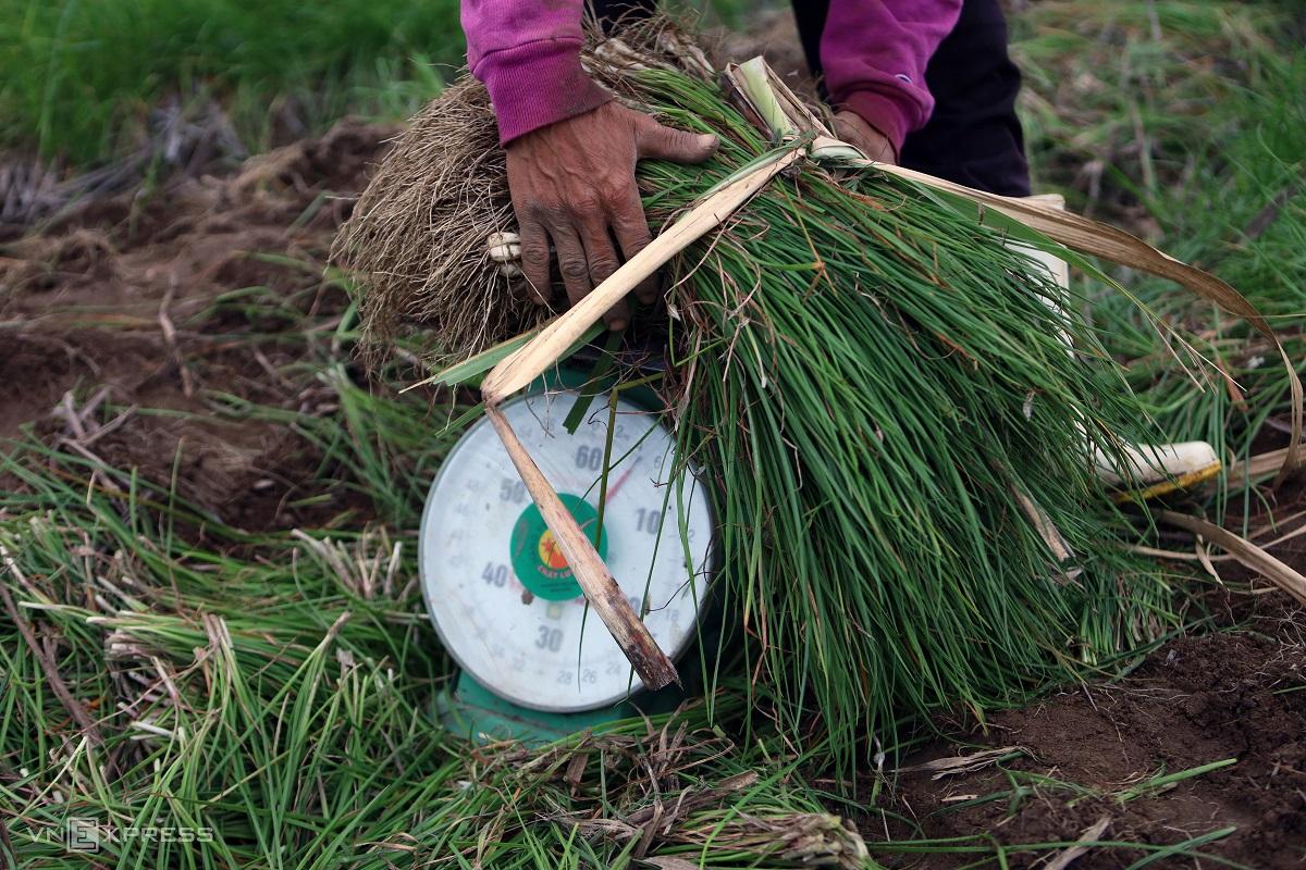 Festive spirit in Khanh Hoa's spring onion farm - 10