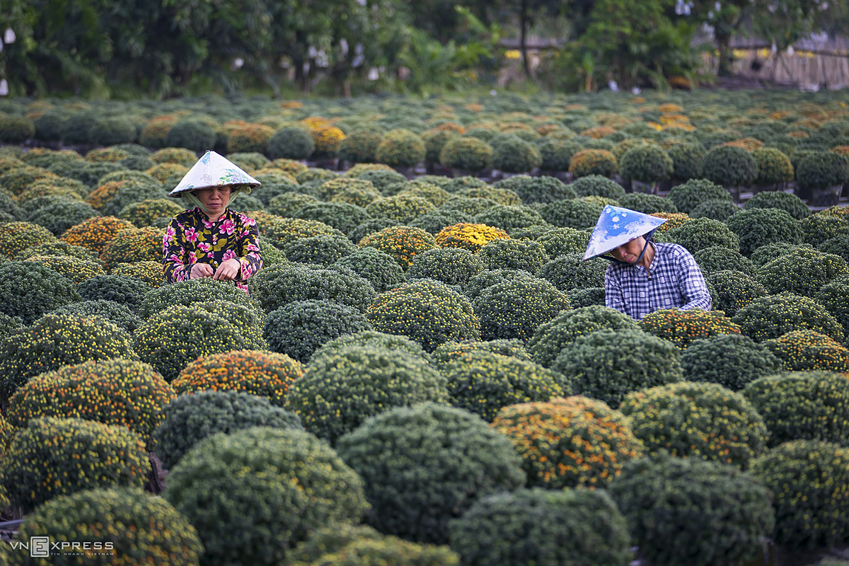 Women wearing conical hats take care of chrysanthemums pots, heavily favored as a symbol of luck.