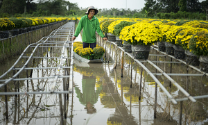 Century-old village in Mekong Delta blooms as Tet draws near