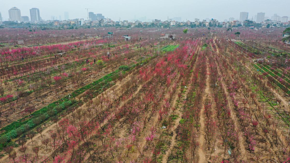 Hanoi flower villages lack customers ahead of Tet
