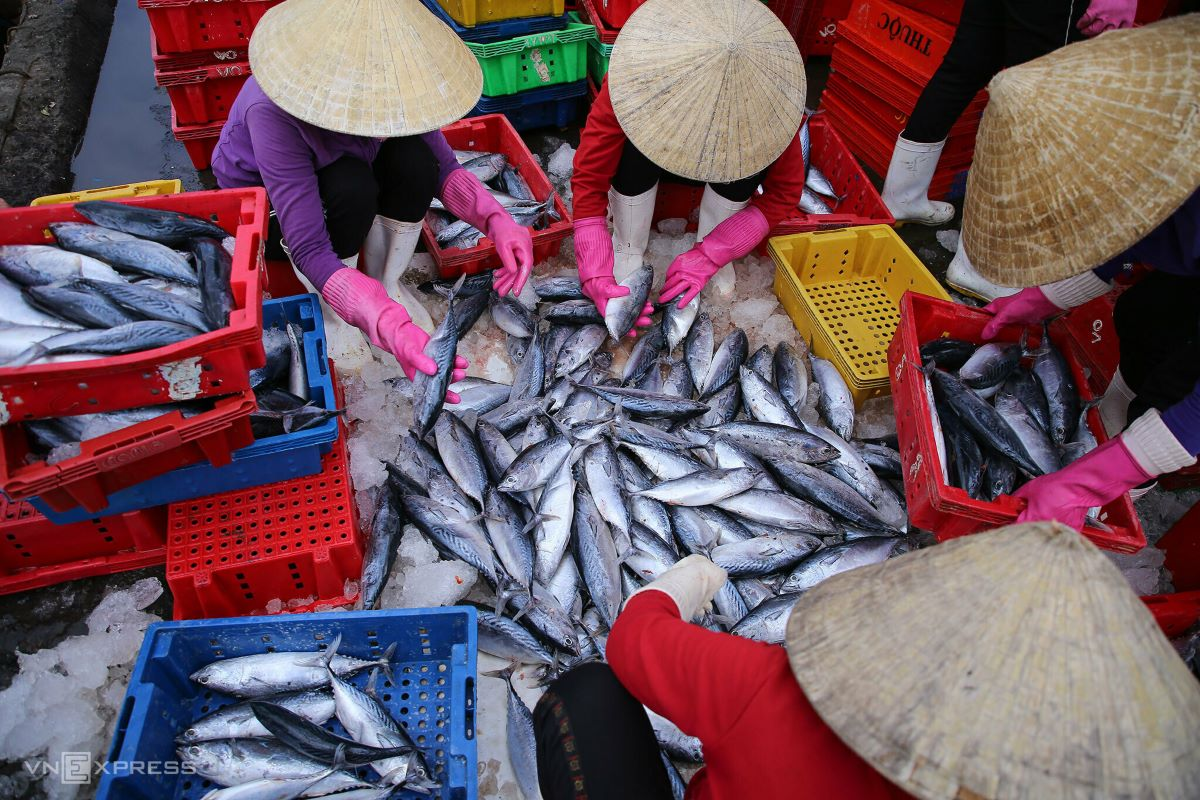 Major purchasers of fish include seafood processing companies. Thanks to the favorable weather this year, fishermen get to enjoy the bounty of the sea, especially tuna. However, the pandemic has shot down prices. Captain Le Minh Tuan, 34, said 10 tons of tuna now sold for only VND200,000 ($8.74) per kilogram, half the previous sum.