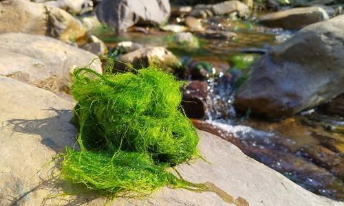 River moss, a Vietnam mountain delicacy