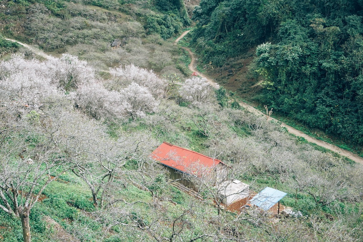 Apricot blossoms in Mu Nau Valley in Son La Province, northern Vietnam.