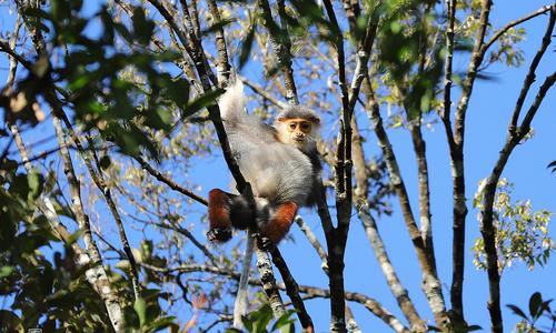 Endangered doucs enjoy idyllic lives thanks to Covid-19