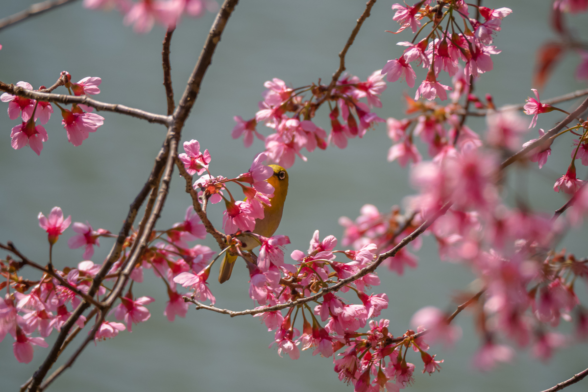 Cherry blossoms burst into life across cloud-blessed Mang Den Town