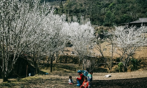 Plum blossoms dye northern Vietnam village white