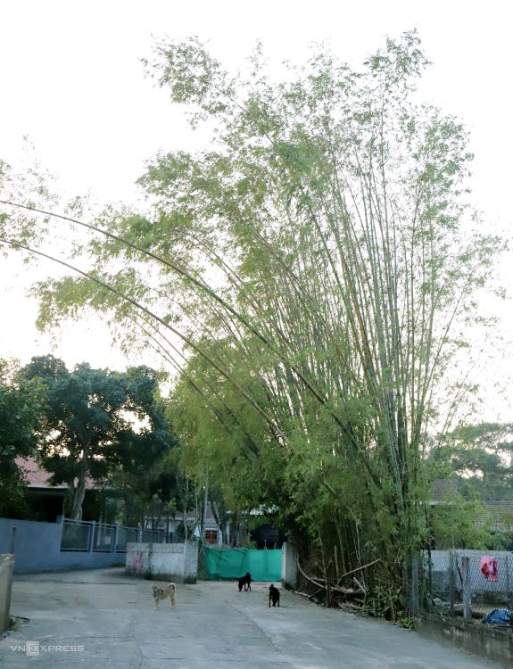 Several households grow the raw material they need – bamboo, in their houses. Some products are made of a smaller variety of evergreen bamboo called nua (Schizostachyum aciculare), which is sourced from other communes in the district.