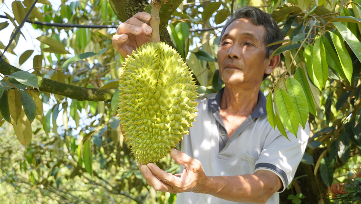 Huynh Huu Loc holds a durian tree in his farm, in Tien Giang Province. March 2021. He expects to harvest the crop in April for sale. Photo by VnExpress/Hoang Nam