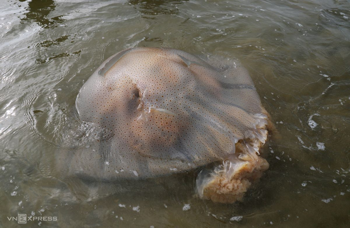 Jellyfish that thrive near the coast have rough bodies with tiny dark spots and are popular for their nutritional value.