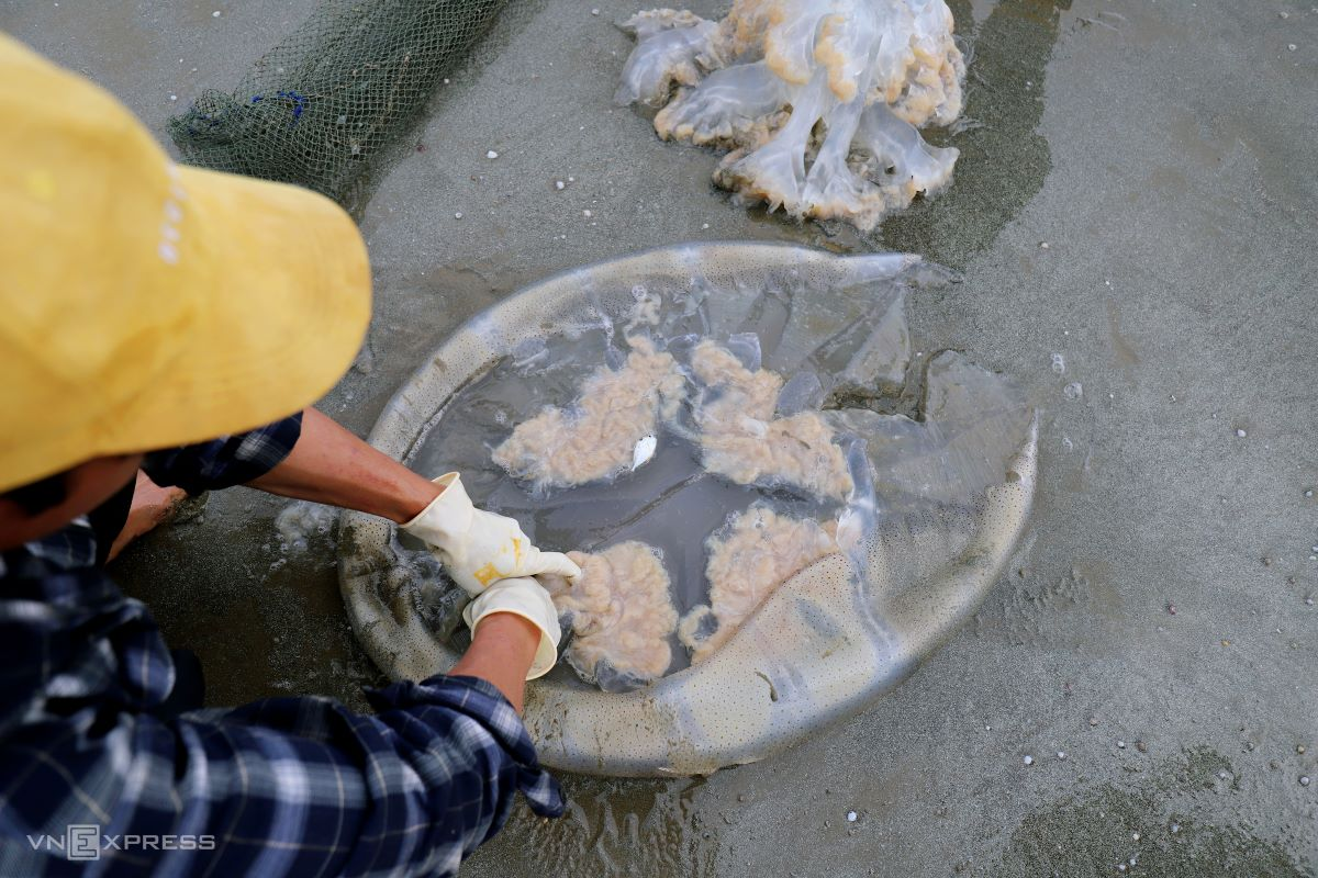 It takes about 10 minutes to gut a 15 kilogram jellyfish.