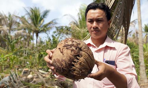 Invasive caterpillar threatens Mekong Delta coconut 'kingdom'