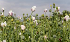 Hanoian cultivates opium garden to make liqueur