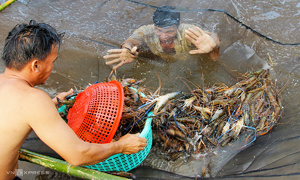 Vietnam eyes $4 bln in shrimp exports