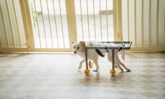 A paralyzed dog and his wheelchair created by Van and her students. Photo by VnExpress/Nguyen Ngoan.