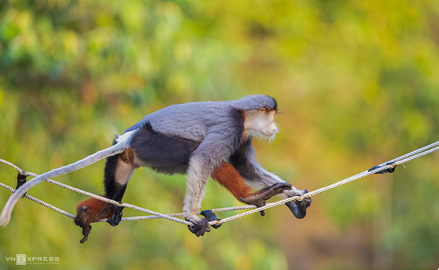 Son Tra is at its most enchanting from April to June. When it rains the douc langurs begin their cacophonic calls to their troops to start feeding.
