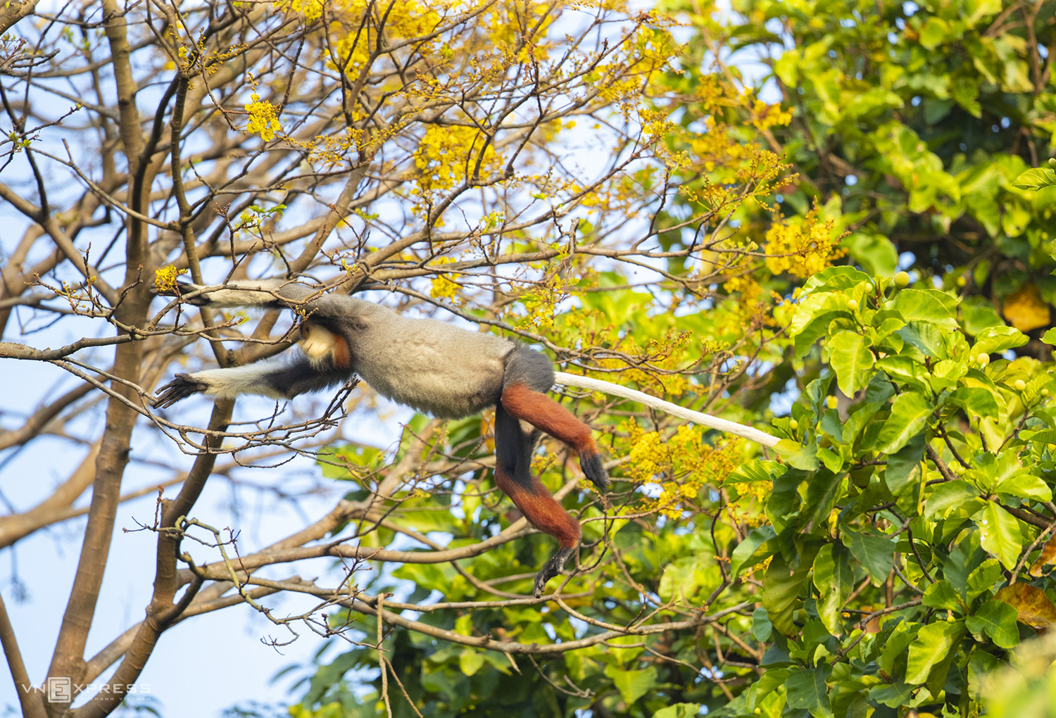 A douc langur on a yellow famboyant tree. These trees grow 9-10 meters and have lovely yellow flowers.