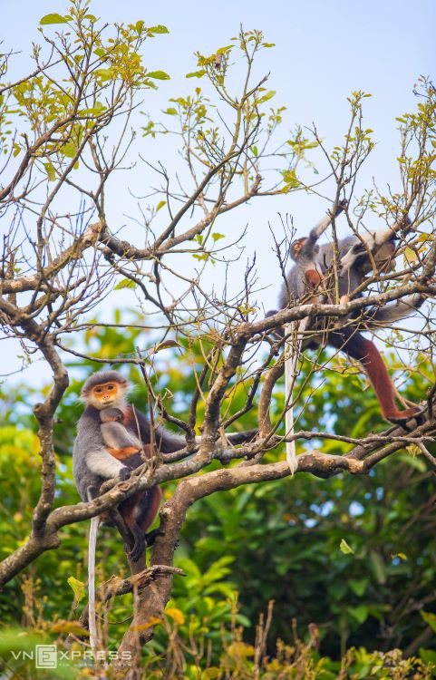 Studies show that the brown-shanked douc langur only appears along the Truong Son mountain range, a chain of mountains running along the border of Vietnam and Laos.The brown-shanked douc is a rare and endemic species in Vietnam. World Wildlife Fund (WWF) placed them on the list of animals in need of unconditional protection.
