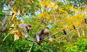 Primates forage in yellow flamboyant forest of Son Tra Peninsula