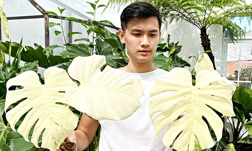 Houseplant obsession: an expensive new hobby in Vietnam