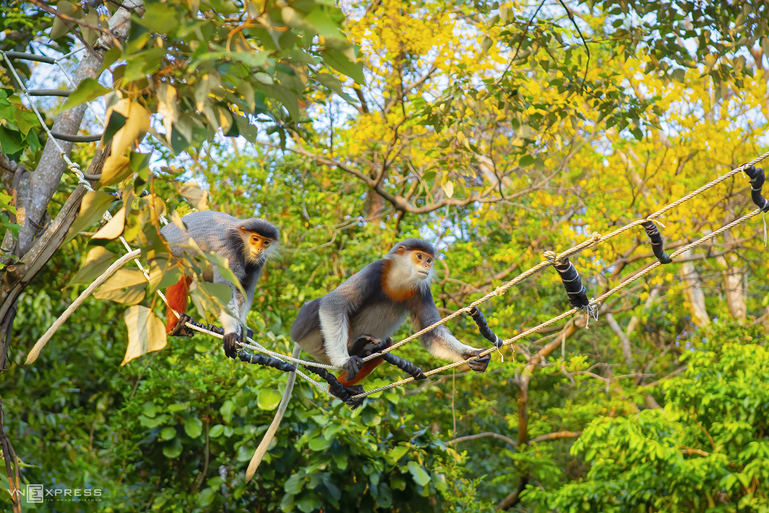 A group of photographers including Vo Rin, Ha Vu Linh and Nguyen Thuy Linh arrived at the forest on April 7. After several hours of waiting, a herd of nine langurs appeared, they ate yellow flower buds and in turn moved across the rope ladder.