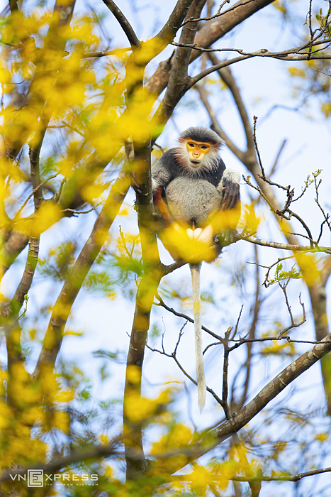 Son Tra has nearly 1,000 species of plants, including 22 rare ones, and hundreds of species of animals, of which the brown-shanked douc langur is the rarest with a population of 300-400 and strict protection.