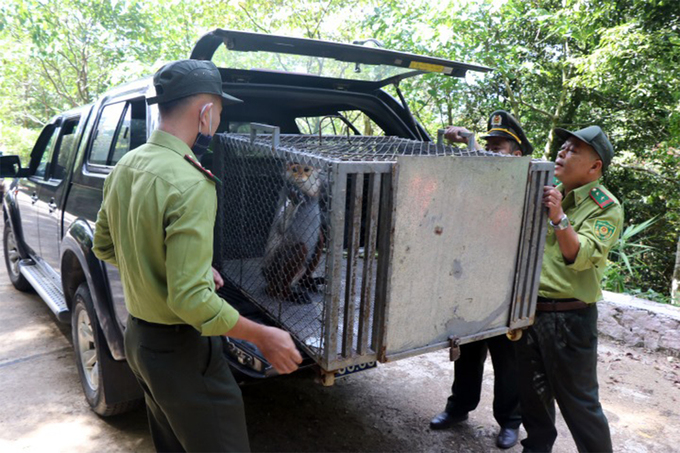 Forest rangers take a brown-shanked douc to Bach Ma National Park by car, May 5 2021. Photo by VnExpress/Cong Bang.