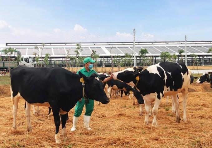 Vinamilk vừa đón đàn bò sữa 2.100 con từ Mỹ, nằm trong kế hoạch nhập khẩu hơn 5.000 bò sữa năm 2021 của Công ty.