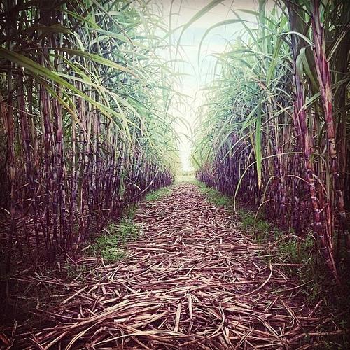 Organic sugarcane farming. Photo by: Vinamit