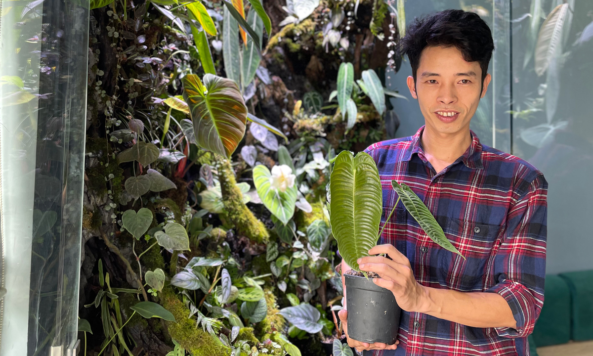 Loi and his anthurium veitchii, an epiphytic species of flowering plant in the genus Anthuriumnative to Colombia. Photo by VnExpress/Phan Duong.