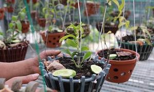 Gold rush distorts mutant orchids market