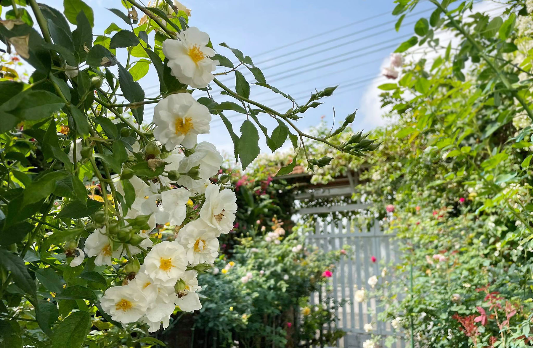 Central Highlands business woman designs home rose garden with nearly 500 plant species - 6