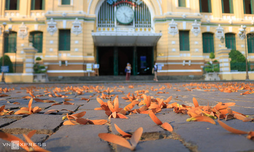 Come May, hollong trees pave Saigon sidewalks in golden-brown hue