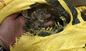 Four investigated for smuggling nearly one ton of pangolin scales in Hanoi