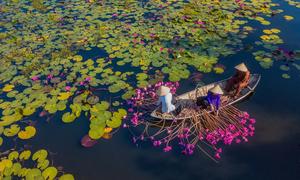 Thousands thrilled as central Vietnam pond blooms in peak pink