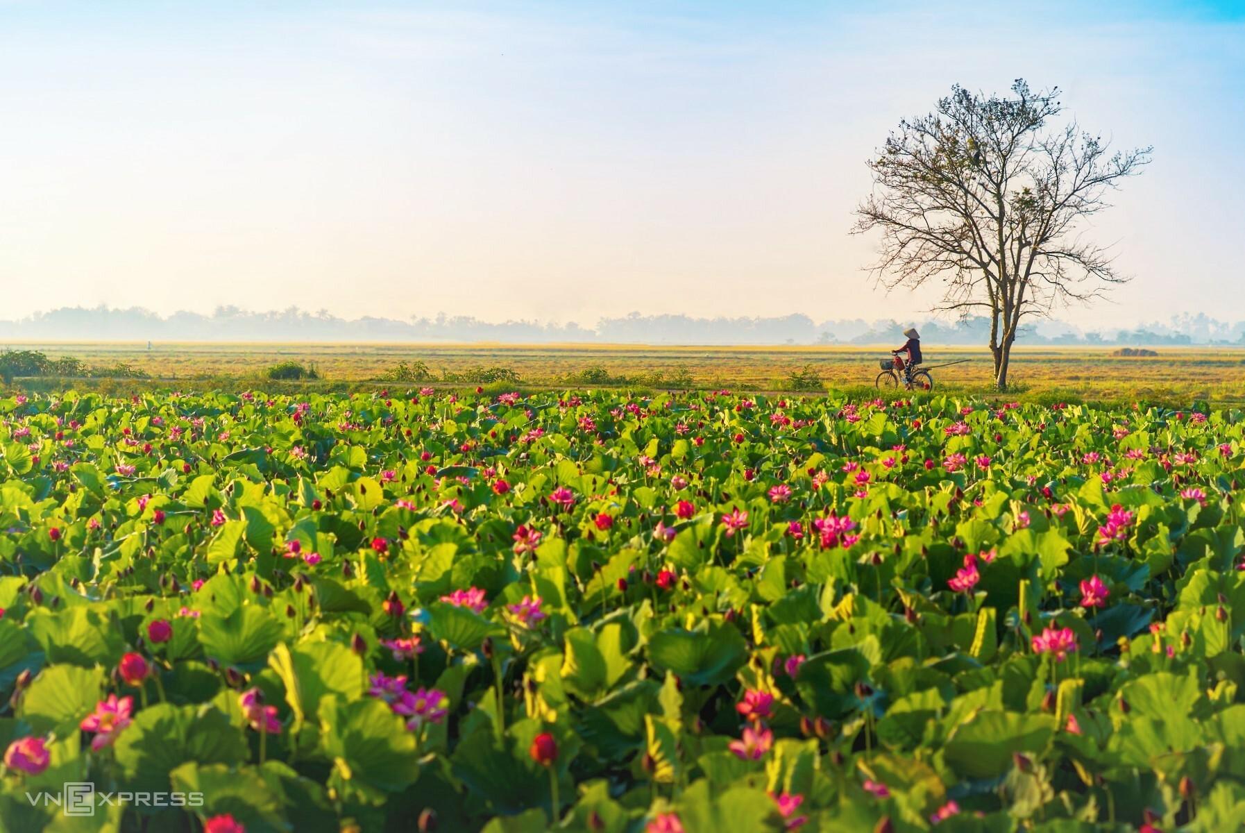 Blooming lotus season adds charm to Hue