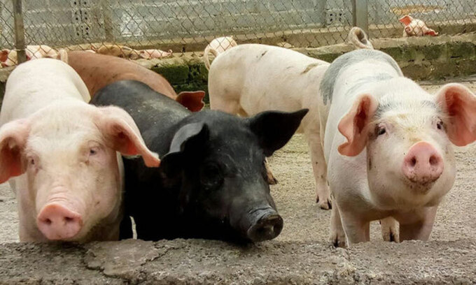 Vietnam stops live pig imports from Thailand