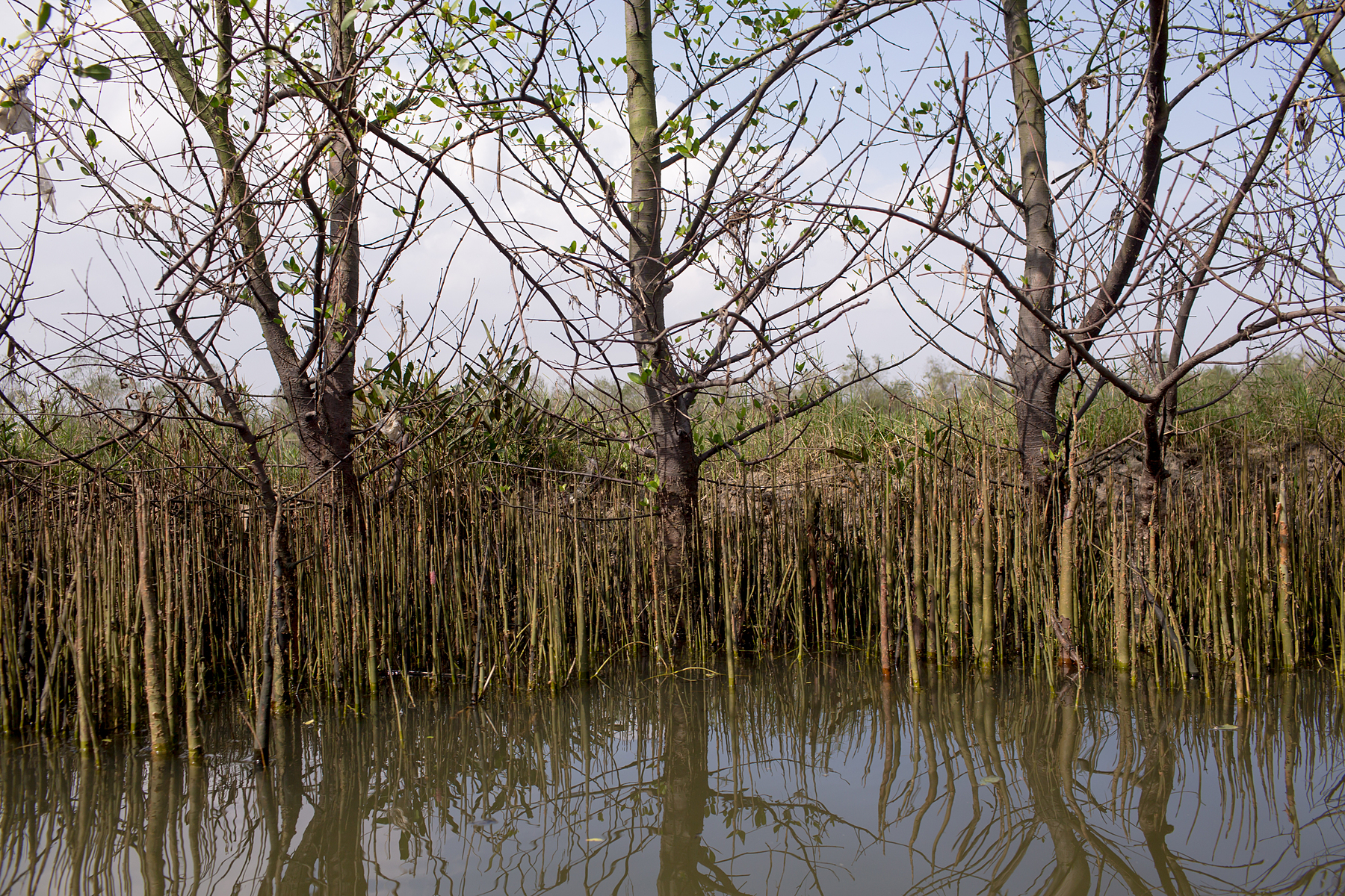The bank of a river with thin shoots of sonneratia plants
