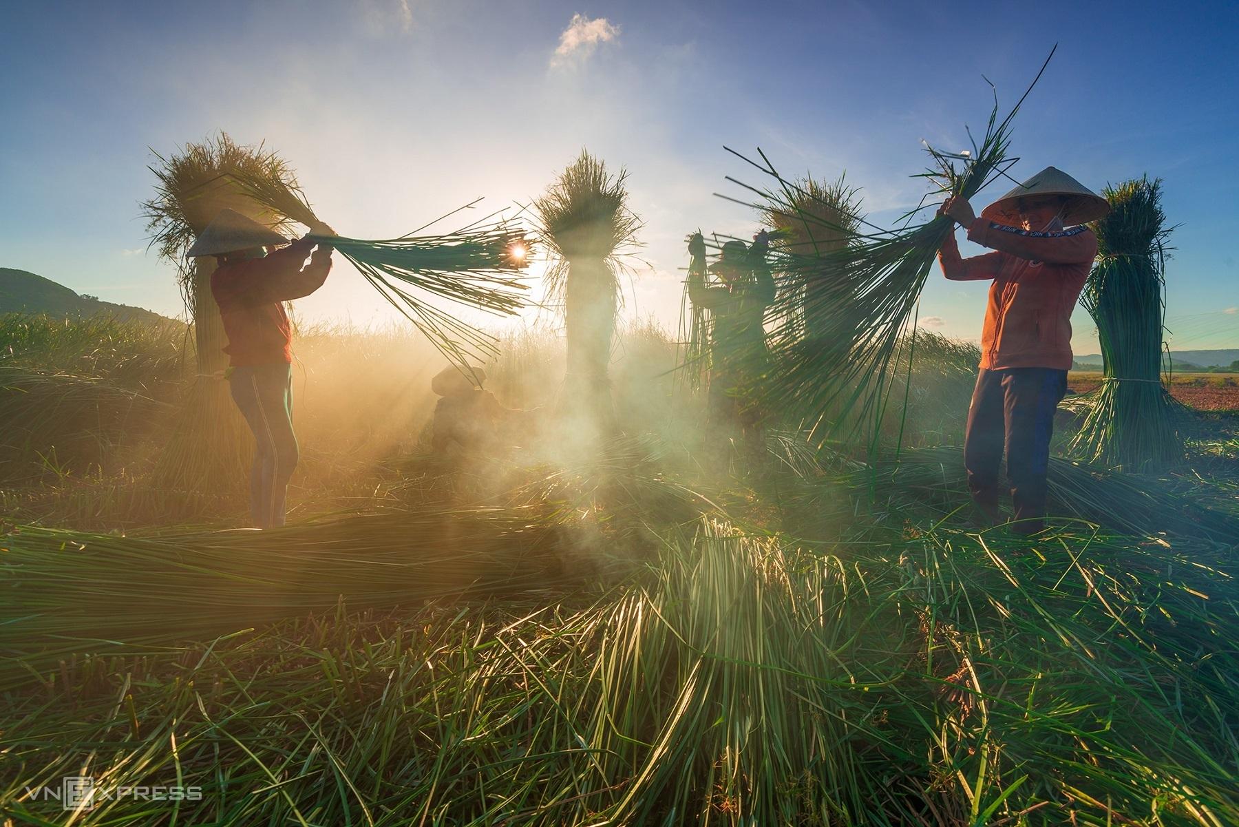 Sedge harvest season in 100-year-old mat village