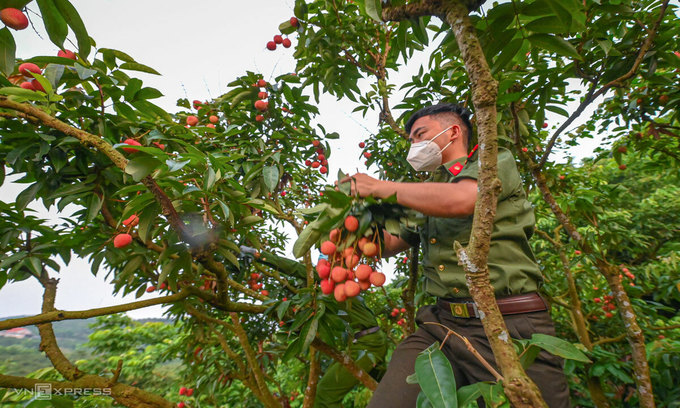 Covid-19 hotspot lacks people to pluck lychees