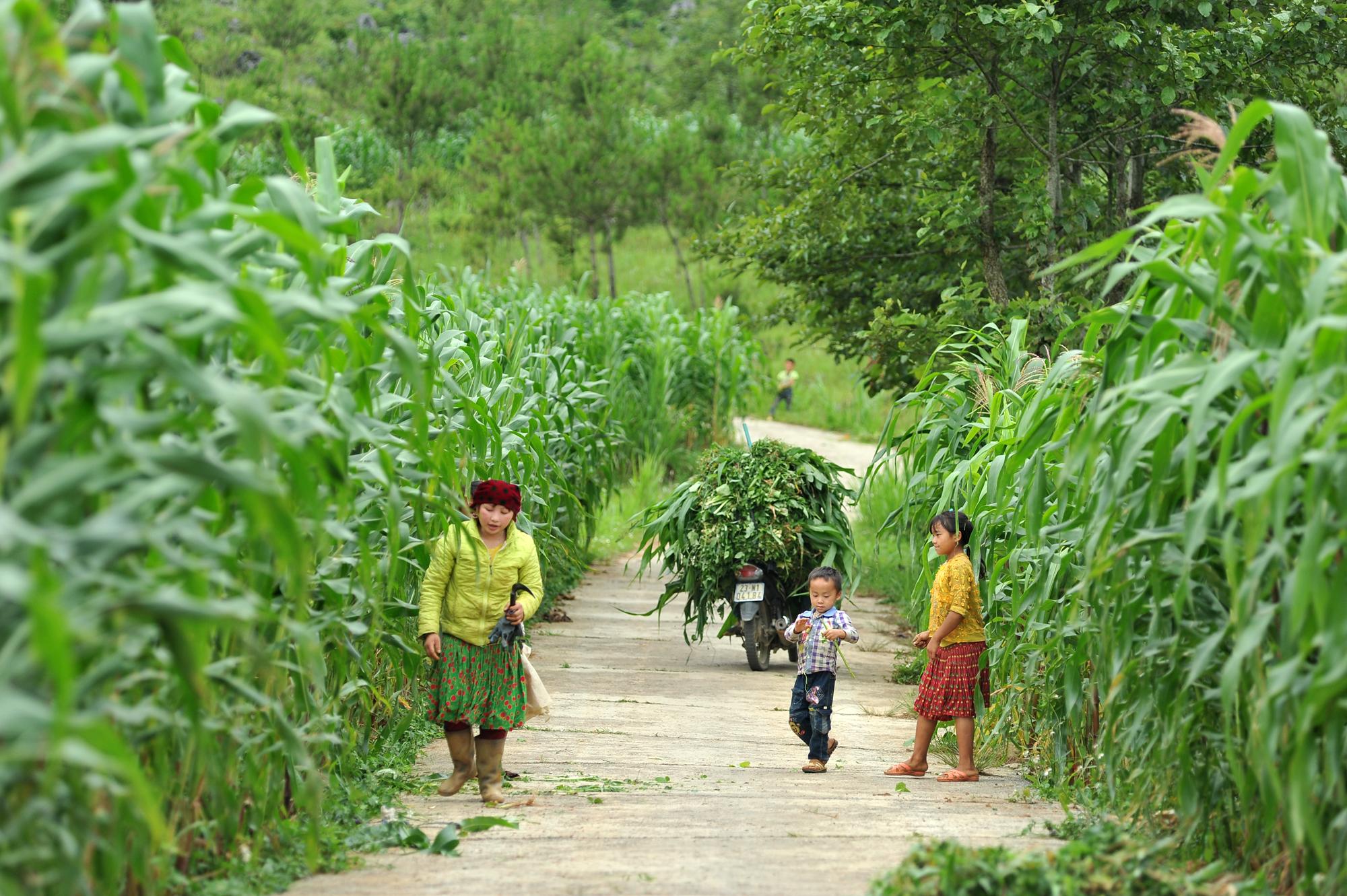Dong Van corn fields dye rocky plateau green