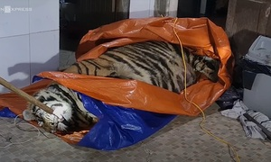 Man gets two-year suspended sentence for tiger carcass purchase