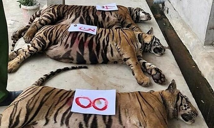 Anesthetizing process suspect in death of rescued tigers in central Vietnam