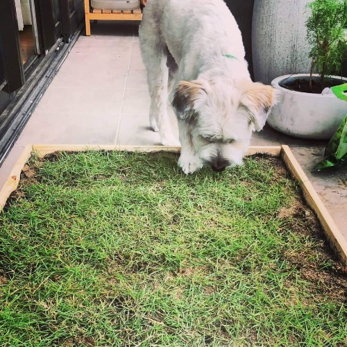 A dog plays with a box of grass on a balcony in HCMC. Photo courtesy of Nguyen Minh Anh