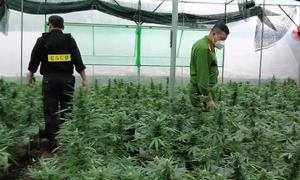 Dak Lak farmer plants cannabis to survive Covid
