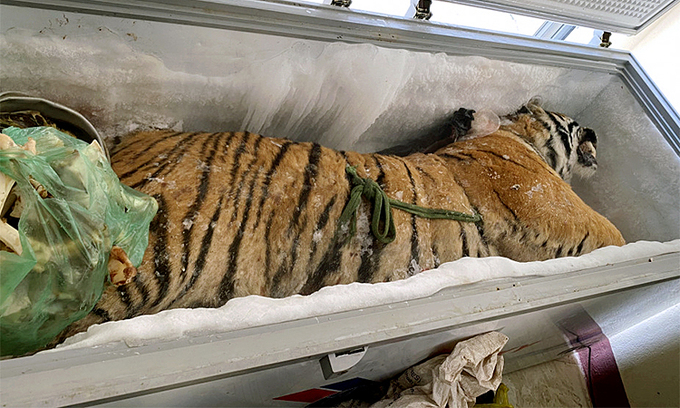 Dead tiger found inside Ha Tinh freezer