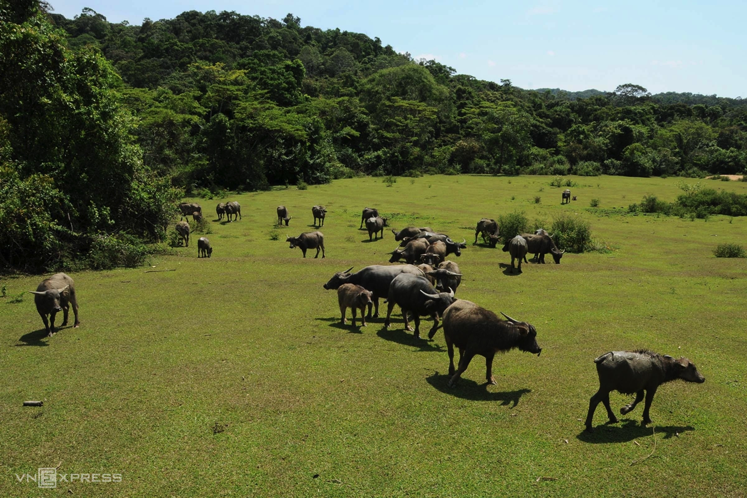 Cows raised by the Ba Na ethnic minority.    The buffer zone of the reserve is home to 17 families of the Ba Na ethnic minority whose livelihood mainly depends on livestock and forest resources.