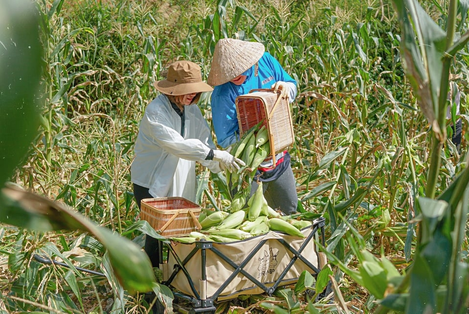 Viet Anh (L) and a family member are harvesting corn on the family farm, June 2021. Photo courtesy of Anh